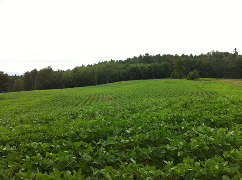 peacham soybeans