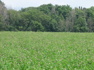 red clover during August of the year of frost seeding