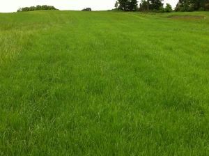 drilled perennial ryegrass in the spring after establishment